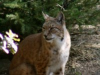 lince3
